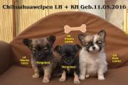 3 Süsse Chihuahuawelpen