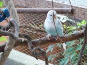 3 Wellensittich Jungvögel