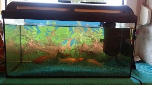 60l aquarium mit goldfische in tann fische aquaristik for Aquarium goldfische