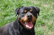 Apollo sucht eine Hunde erfahrene Familie Rottweiler, männlich, aus Tierheim, nur für Hundeerfahrene, Familienhund. Apollo war im schlimmen ... VHS D-89198Westerstetten Heute, 08:50 Uhr, Westerstetten - Apollo sucht eine Hunde erfahrene Familie Rottweiler, männlich, aus Tierheim, nur für Hundeerfahrene, Familienhund. Apollo war im schlimmen
