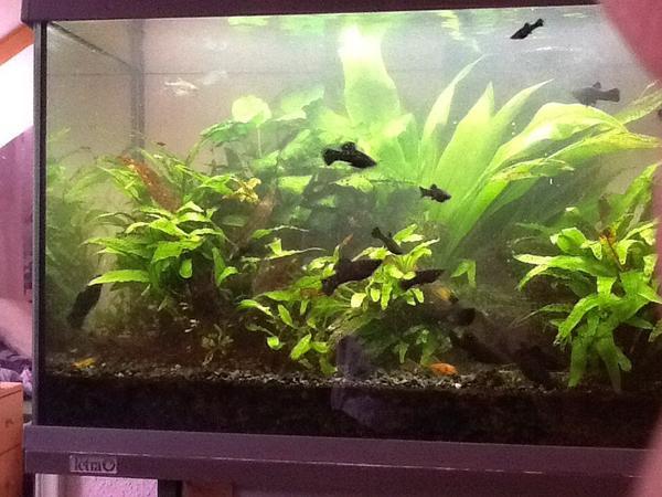 black mollys kleinanzeigen aquarium fische zubeh r. Black Bedroom Furniture Sets. Home Design Ideas