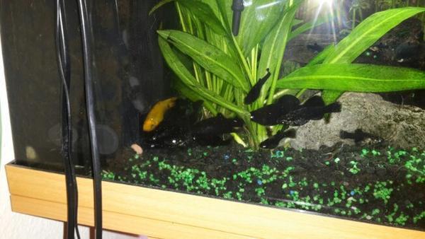 aquarium fische und pflanzen in b hlertal fische. Black Bedroom Furniture Sets. Home Design Ideas