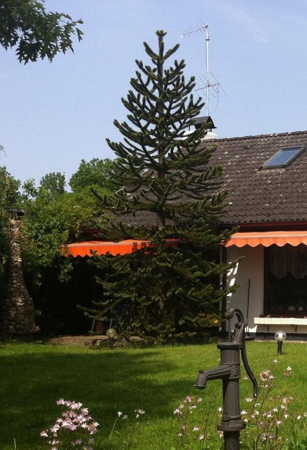 araucaria araucana affenschwanztanne chilenische. Black Bedroom Furniture Sets. Home Design Ideas