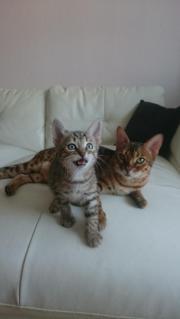 Bengal kitten in