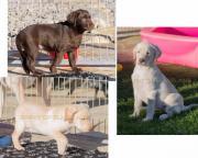 Bildhübsche Labradorwelpen in
