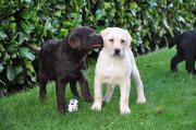 Bildschöne Labradorwelpen blond,