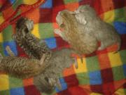 Bkh Kitten abzugeben
