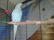 blauer Halsbandsittich