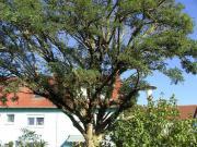 Brennholz Akazie Baumfällen
