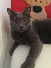 Chartreux/Kartäuser.kitten