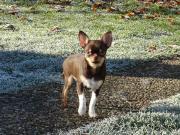 Chihuahua- Junghund