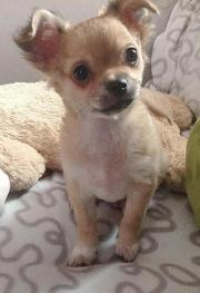 Chihuahua welpen langhaar