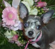 Chihuahuawelpen aus liebevoller