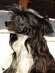 CHINESE CRESTED DOG~