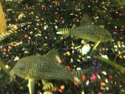 Corydoras Sterbai