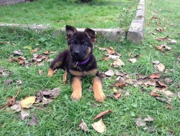 deutsche sch ferhund welpen ca 8 wochen alt in l beck hunde kaufen und verkaufen ber private. Black Bedroom Furniture Sets. Home Design Ideas