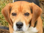 DONALD, Beagle Mischling -