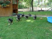 Entlebucher Sennenhund-Welpen