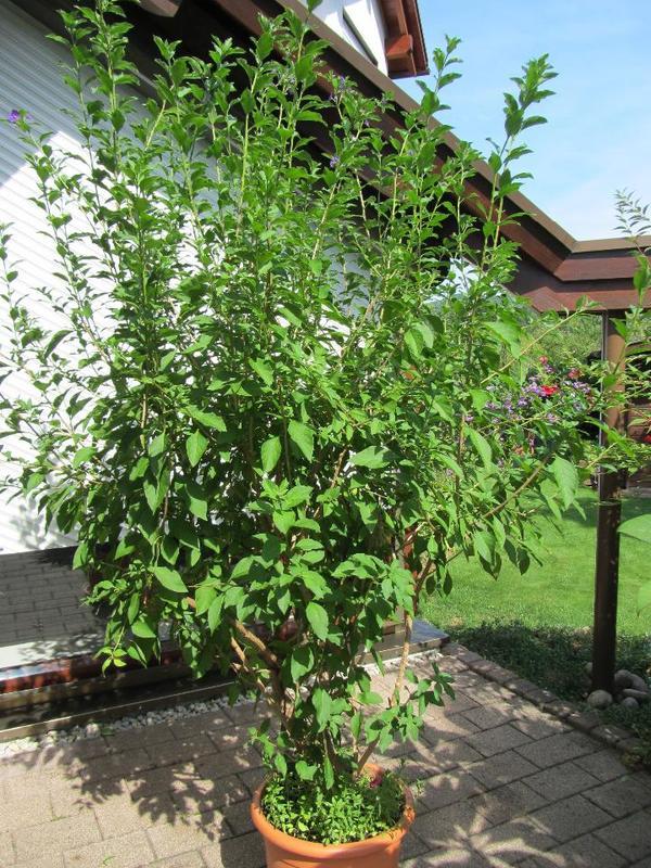 enzianbaum solanum kartoffelbaum k belpflanze in bickenbach pflanzen kaufen und. Black Bedroom Furniture Sets. Home Design Ideas