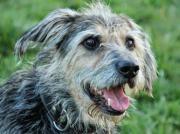 ENZO, Terrier Mischling -