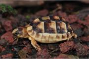 Griechische Breitrand Schildkröte,