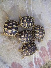 Griechische Landschildkröte- Toscana