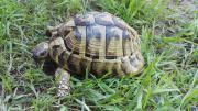 Griechische Landschildkröten (Männchen)