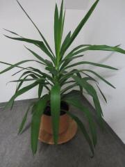 große Zimmerpflanzen - Gummibaum,