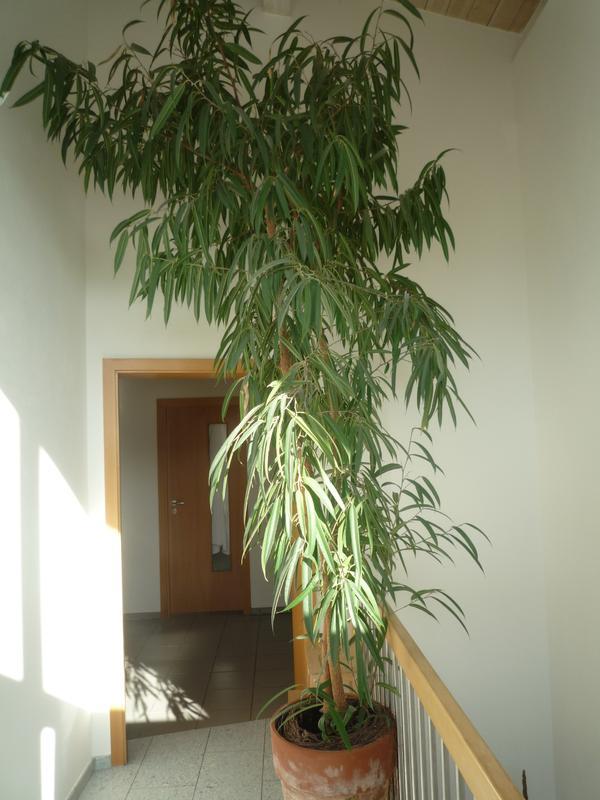gro er ficus lanceolata in backnang pflanzen kaufen und verkaufen ber private kleinanzeigen. Black Bedroom Furniture Sets. Home Design Ideas
