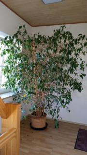 Großer Ficus zu