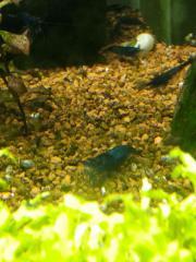 Gruppe BlueDream Garnelen (