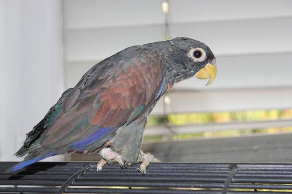 Handzahme Papageien in Bühl - Vögel kaufen und verkaufen
