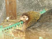 Hühner Küken