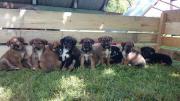 Hundewelpen - Mischlinge nur