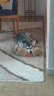 Husky Mischling