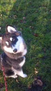 Husky sucht neues