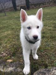 husky welpe 14