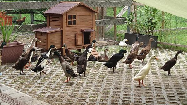 ind laufenten in bartholom berg nutztiere kaufen und. Black Bedroom Furniture Sets. Home Design Ideas