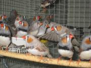 junge prachtfinken