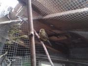 Kanarien-Hahn grün