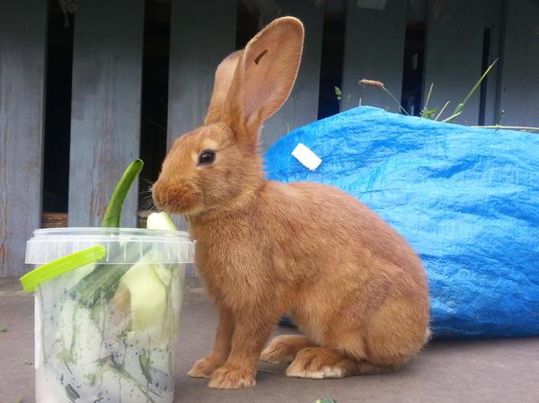 Kaninchen, Hasen, Stallhasen, Schlachtkaninchen ...