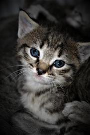 Kitten Siam-Mix