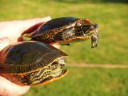 kleinbleibende Indianer-Zierschildkröten -