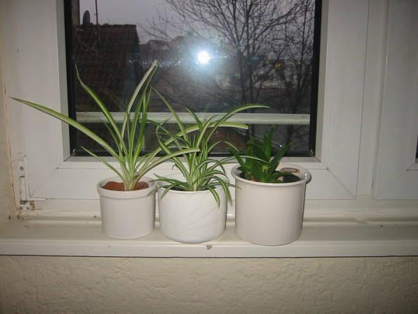 kleine zimmerlilien in stuttgart pflanzen kaufen und verkaufen ber private kleinanzeigen. Black Bedroom Furniture Sets. Home Design Ideas