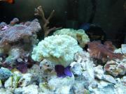 Korallenableger fertig auf