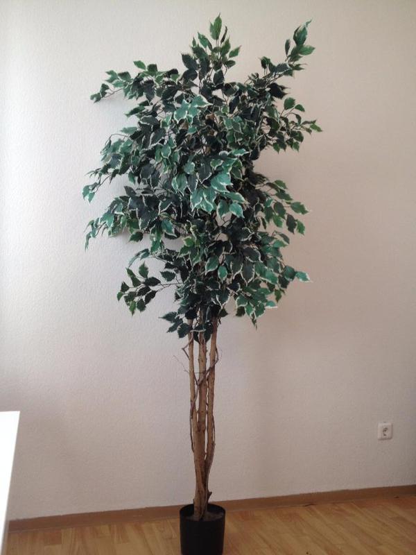 hochwertige kunstpflanze benjamin h he 195 breite 75 f r selbstabholer dies ist ein. Black Bedroom Furniture Sets. Home Design Ideas