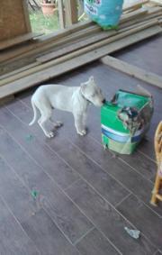 Kupierte Dogo Argentino