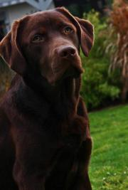 Labrador Deckrüde braun