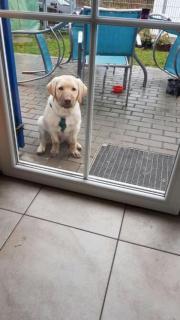 Labrador Rüde geb.