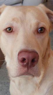 Labradormädchen Reinrassieg mit